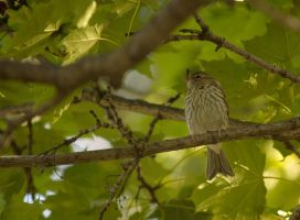 Young Chipping Sparrow July - 2014 - 15 - 1 by toshema