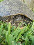 Turtley Enough For The Turtle Club by FiltheeVictorian