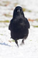Crow 02 by LydiardWildlife