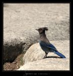 Steller's Jay by Crooty