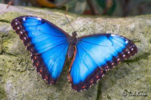 Common Morpho by Brothertheo