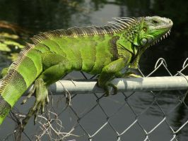 Iguana ii by jstone239