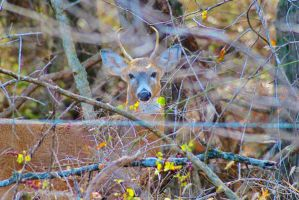 Whitetail Buck by sweetz76