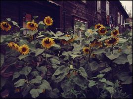 City Sunflowers by MissLumikki