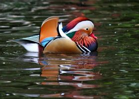 Mandarin Reflections by AJKent