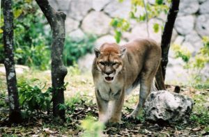 Mountain Lion II by Snotted