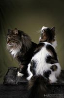Norwegian Forest Cats by lkfoto