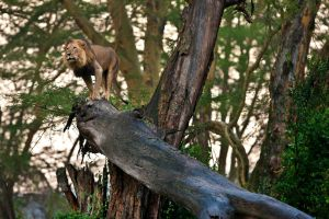 African Lion 48 by catman-suha