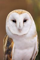 barn owl by ariseandrejoice