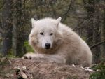 White Wolf 001 by animalphotos