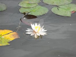 Water Lily by JaZziMini