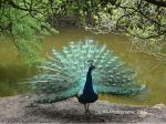 Peacock by MA-PHOTOGRAPHIC