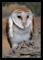 Barn Owl  -  Tyto alba by invisiblewl