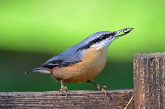 Nuthatch by priwax