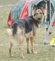 German Shepherd 1 by Lakela