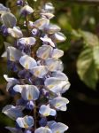 Wisteria Close-up 02 by botanystock
