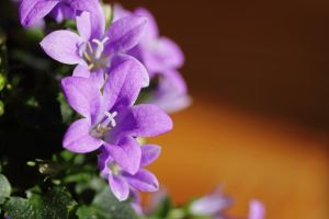 Purple Campanula by Skaldur