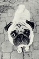 PUGGY DOG EYES by mickeypop