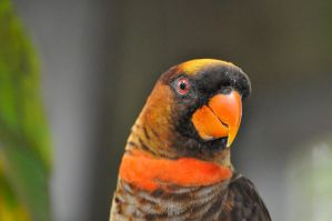 My name is dusky lory 2 by NB-Photo