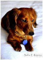 Red Dapple LH Dachshund by SofiaERamirez