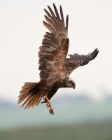 Marsh Harrier by pixellence2