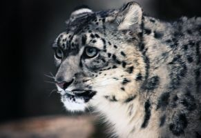 Snow Leopard I by Verenth