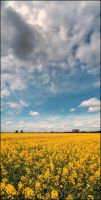 Yellow Rapeseed and a Blue Sky by MichiLauke