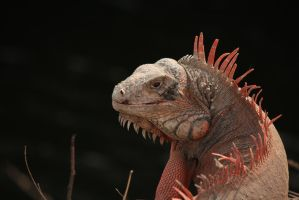 Iguana I by Little-Bluefish