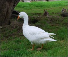 White Goose II by Eirian-stock
