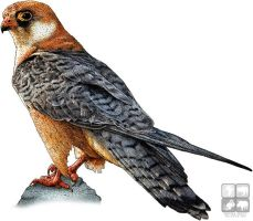 Red-Footed Falcon by rogerdhall