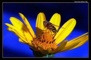 American Hover Fly 3 by boron