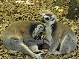 Lemur family of Madagascar by A1Z2E3R