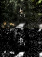European garden spider by 8Creo