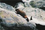 Marmot In Action by ryan-nelling