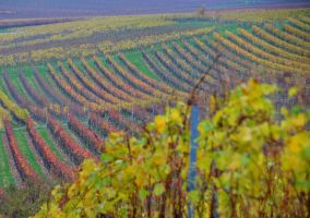 Autumn in wineyards by titoune33
