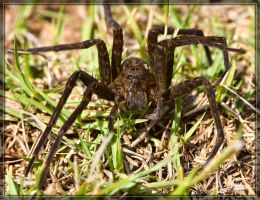 Fishing Spider 40D0009919 by Cristian-M