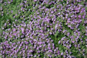 Purple Groundcover Texture by Moonchilde-Stock