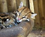 Sleeping Ocelots by TheUnwrittenDiaries