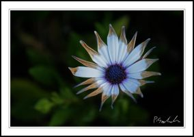 Flower by Tiberius47