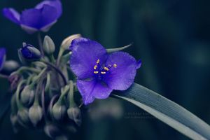Spiderwort by Karl-B