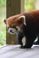 red panda by Cassidy-Slingby