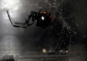 Lucinda the Latrodectus by Meddling-With-Nature
