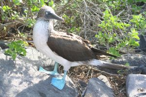Blue-footed Booby - Espanola by Serendith