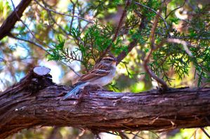 Chipping Sparrow by jdchaffee