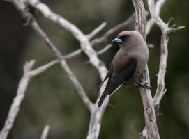 Dusky Woodswallow by bredli84