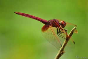Dragon fly by AlHabshi