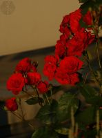 Last Light on red Roses by webcruiser
