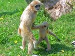 Lar Gibbons by Ch4s7i7y