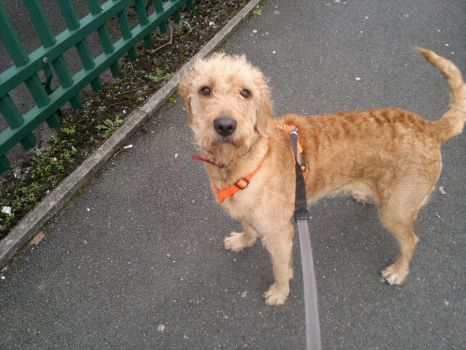 Biscuit Labradoodle Puppy 1 Year Old by AndyJacko