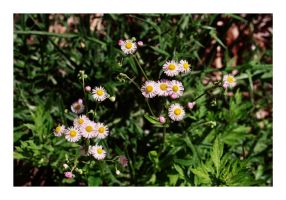 2014-155 Asters by pearwood